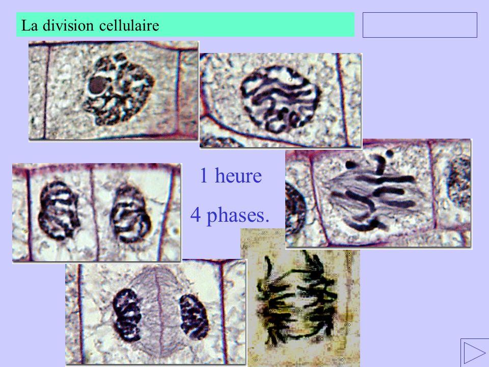 La division cellulaire 1 heure 4 phases.