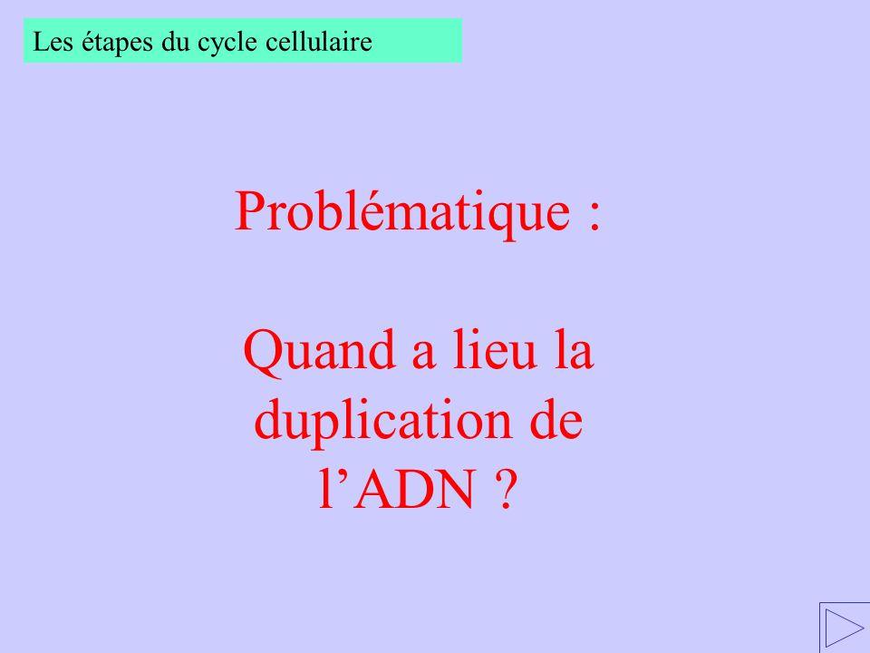Problématique : Quand a lieu la duplication de lADN ? Les étapes du cycle cellulaire
