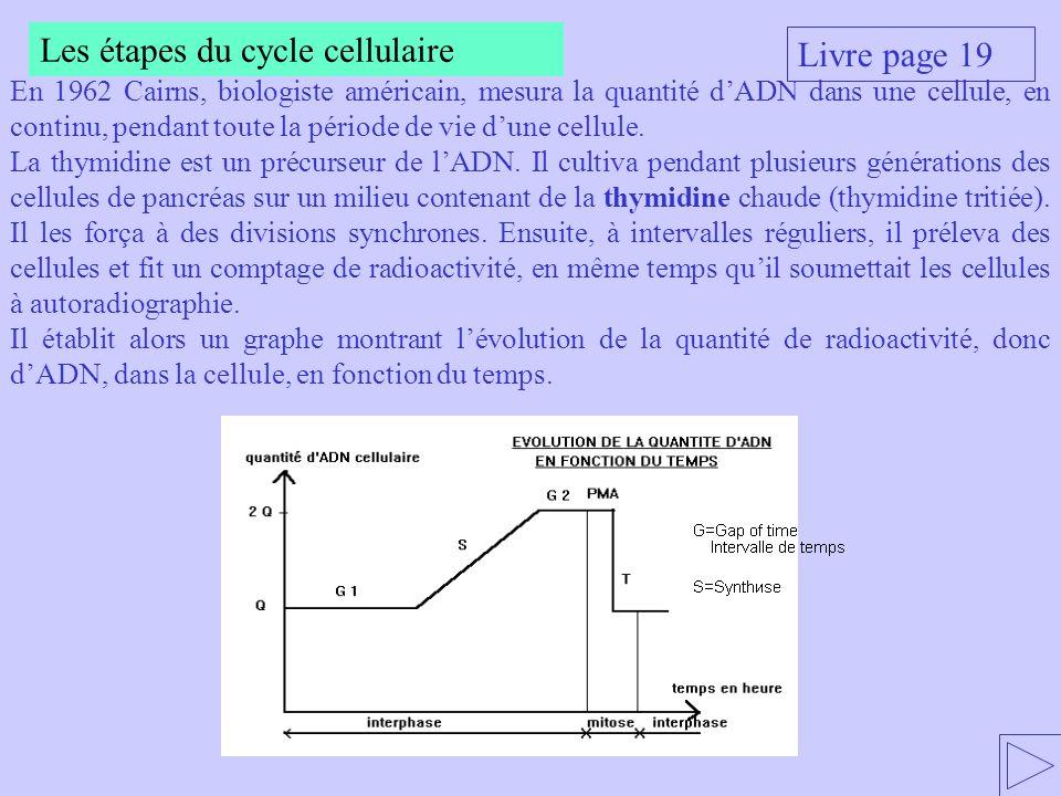 Livre page 19 Les étapes du cycle cellulaire En 1962 Cairns, biologiste américain, mesura la quantité dADN dans une cellule, en continu, pendant toute