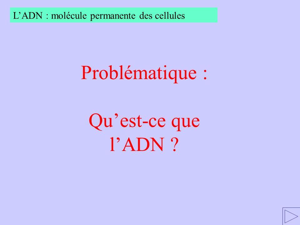 Problématique : Quest-ce que lADN ? LADN : molécule permanente des cellules