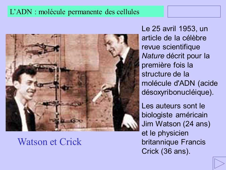 Le 25 avril 1953, un article de la célèbre revue scientifique Nature décrit pour la première fois la structure de la molécule d'ADN (acide désoxyribon