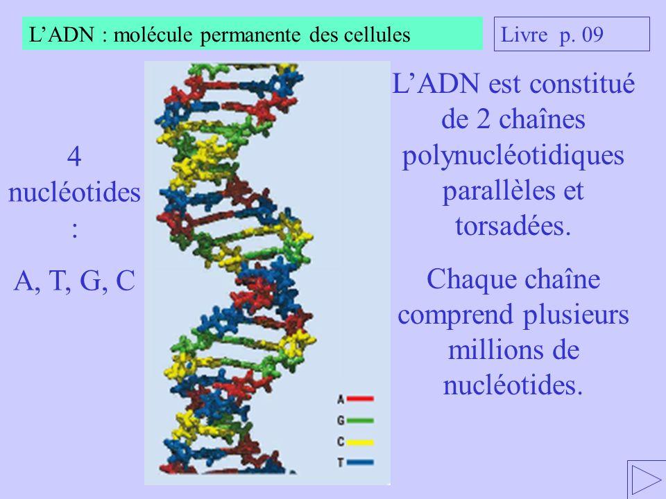 LADN est constitué de 2 chaînes polynucléotidiques parallèles et torsadées. Chaque chaîne comprend plusieurs millions de nucléotides. 4 nucléotides :