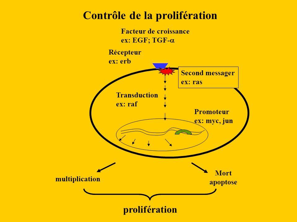 Contrôle de la prolifération Facteur de croissance ex: EGF; TGF- Récepteur ex: erb Mort apoptose multiplication Second messager ex: ras Transduction e