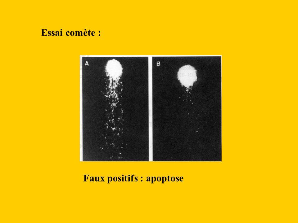 Essai comète : Faux positifs : apoptose