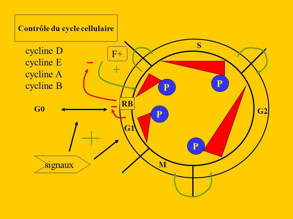 G1 S G2 M RB G0 + Contrôle du cycle cellulaire cycline D cycline E cycline A cycline B F+ signaux P P P P