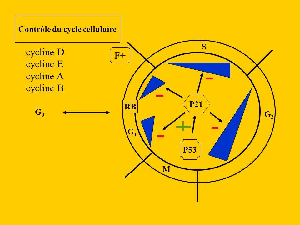 G1G1 S G2G2 M RB G0G0 Contrôle du cycle cellulaire cycline D cycline E cycline A cycline B F+ P21 P53