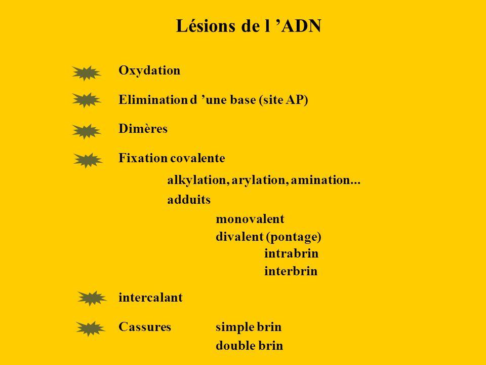 Lésions de l ADN Oxydation Elimination d une base (site AP) Dimères Fixation covalente alkylation, arylation, amination... adduits monovalent divalent