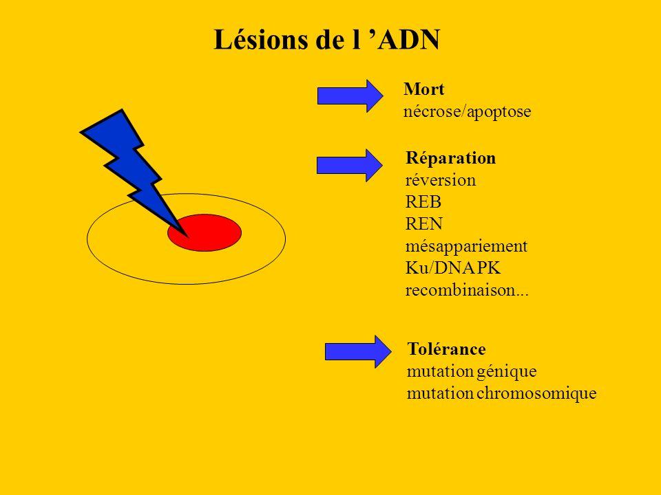 Lésions de l ADN Mort nécrose/apoptose Réparation réversion REB REN mésappariement Ku/DNA PK recombinaison... Tolérance mutation génique mutation chro