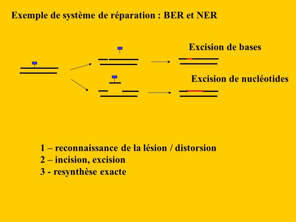 Excision de bases Excision de nucléotides Exemple de système de réparation : BER et NER 1 – reconnaissance de la lésion / distorsion 2 – incision, excision 3 - resynthèse exacte