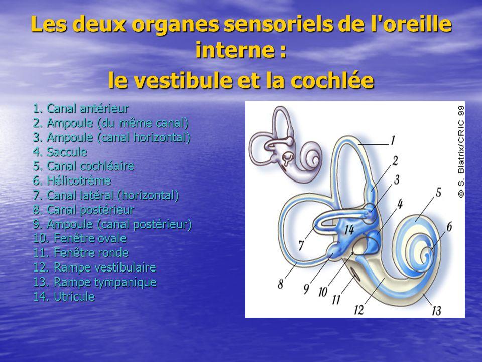 Les deux organes sensoriels de l'oreille interne : le vestibule et la cochlée 1. Canal antérieur 2. Ampoule (du même canal) 3. Ampoule (canal horizont