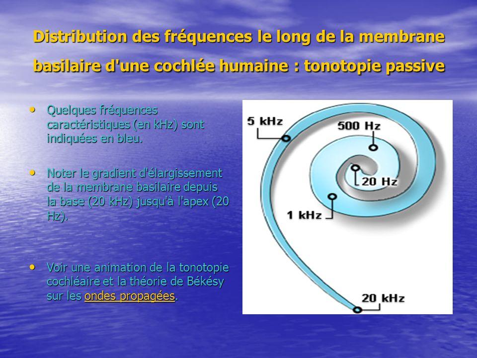 Distribution des fréquences le long de la membrane basilaire d'une cochlée humaine : tonotopie passive Quelques fréquences caractéristiques (en kHz) s