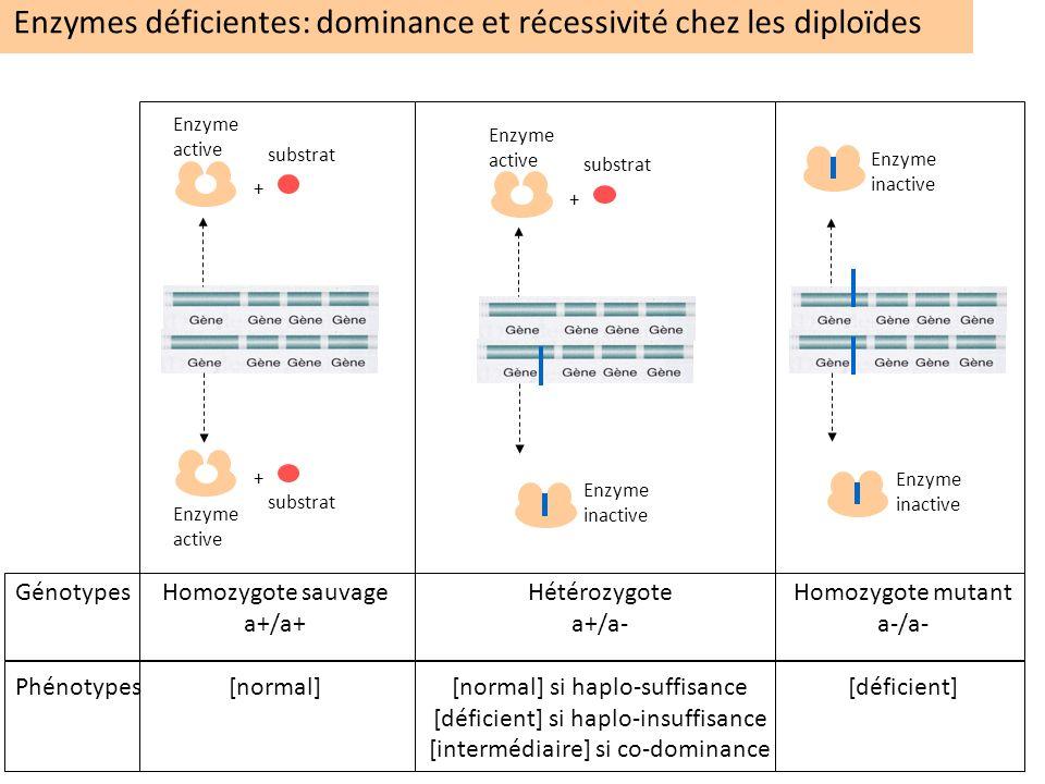 Enzymes déficientes: dominance et récessivité chez les diploïdes Homozygote mutant a-/a- [déficient] Enzyme inactive Enzyme inactive Génotypes Phénoty