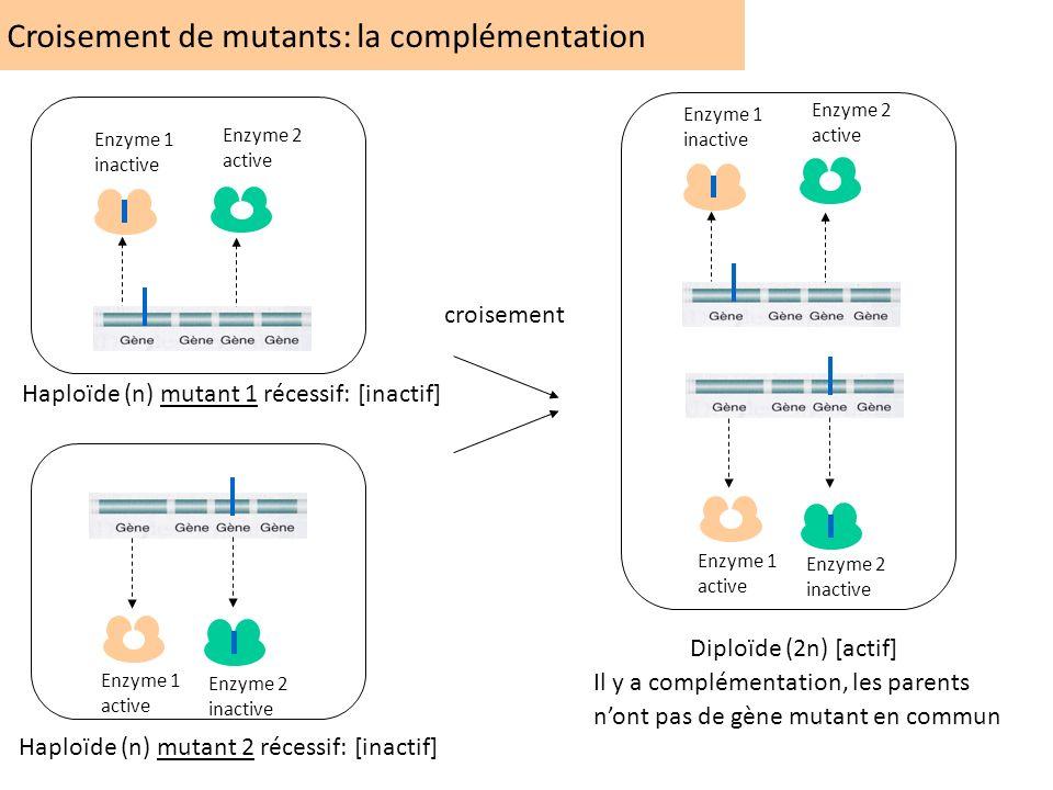Croisement de mutants: la complémentation Enzyme 1 inactive Enzyme 2 active Enzyme 1 active Enzyme 2 inactive Enzyme 1 active Enzyme 2 inactive Enzyme
