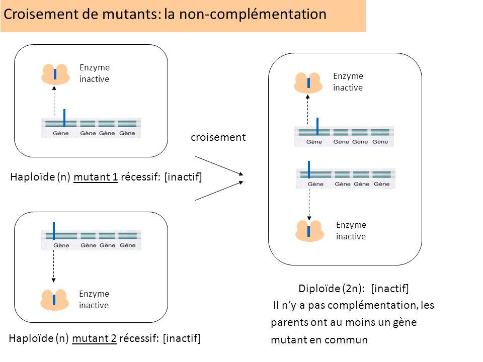 Croisement de mutants: la non-complémentation Enzyme inactive Enzyme inactive Haploïde (n) mutant 1 récessif: [inactif] Haploïde (n) mutant 2 récessif