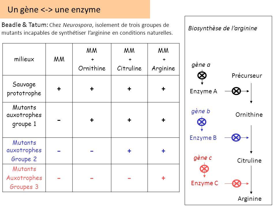 Un gène une enzyme milieuxMM + Ornithine MM + Citruline MM + Arginine Sauvage prototrophe ++++ Mutants auxotrophes groupe 1 -+++ Mutants auxotrophes G