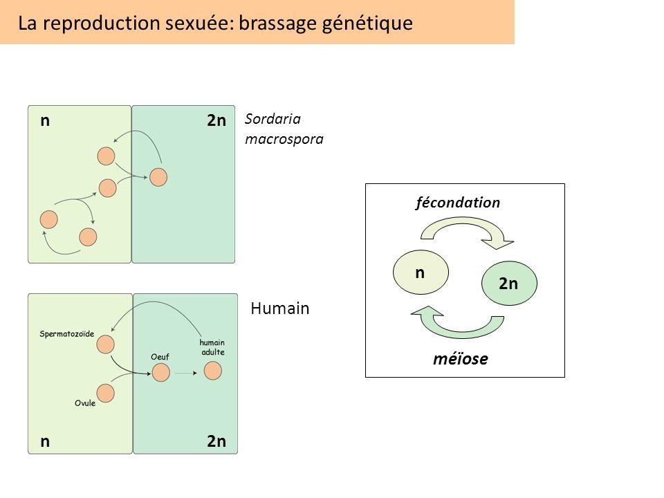 La reproduction sexuée: brassage génétique Sordaria macrospora n2n n Humain n 2n fécondation méïose