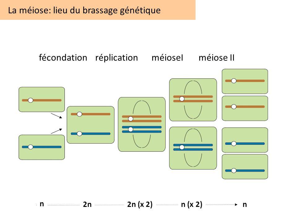 fécondationréplicationméioseIméiose II La méiose: lieu du brassage génétique n 2n2n (x 2)n (x 2)n