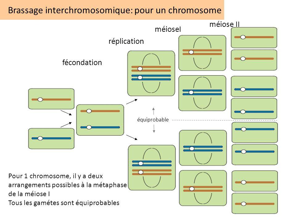 Brassage interchromosomique: pour un chromosome Pour 1 chromosome, il y a deux arrangements possibles à la métaphase de la méiose I Tous les gamétes s