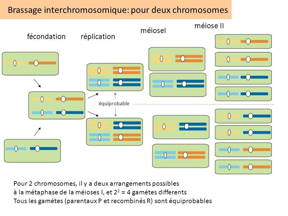 Brassage interchromosomique: pour deux chromosomes Pour 2 chromosomes, il y a deux arrangements possibles à la métaphase de la méioses I, et 2 2 = 4 g