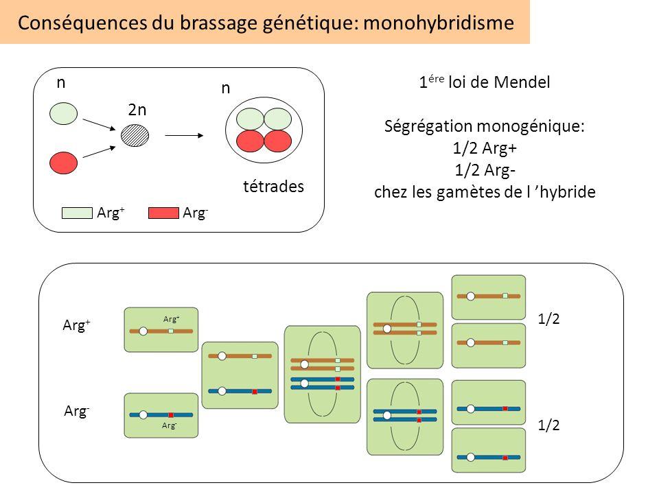 Conséquences du brassage génétique: monohybridisme n 2n n tétrades Arg + Arg - 1 ére loi de Mendel Ségrégation monogénique: 1/2 Arg+ 1/2 Arg- chez les