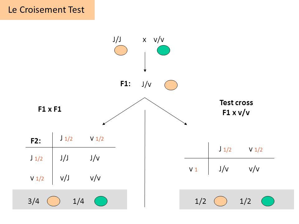 Le Croisement Test F1: F2: J/Jx v/v J/v J 1/2 v 1/2 J 1/2 J/JJ/v v 1/2 v/Jv/v J 1/2 v 1/2 v 1 J/vv/v Test cross F1 x v/v F1 x F1 3/41/41/2