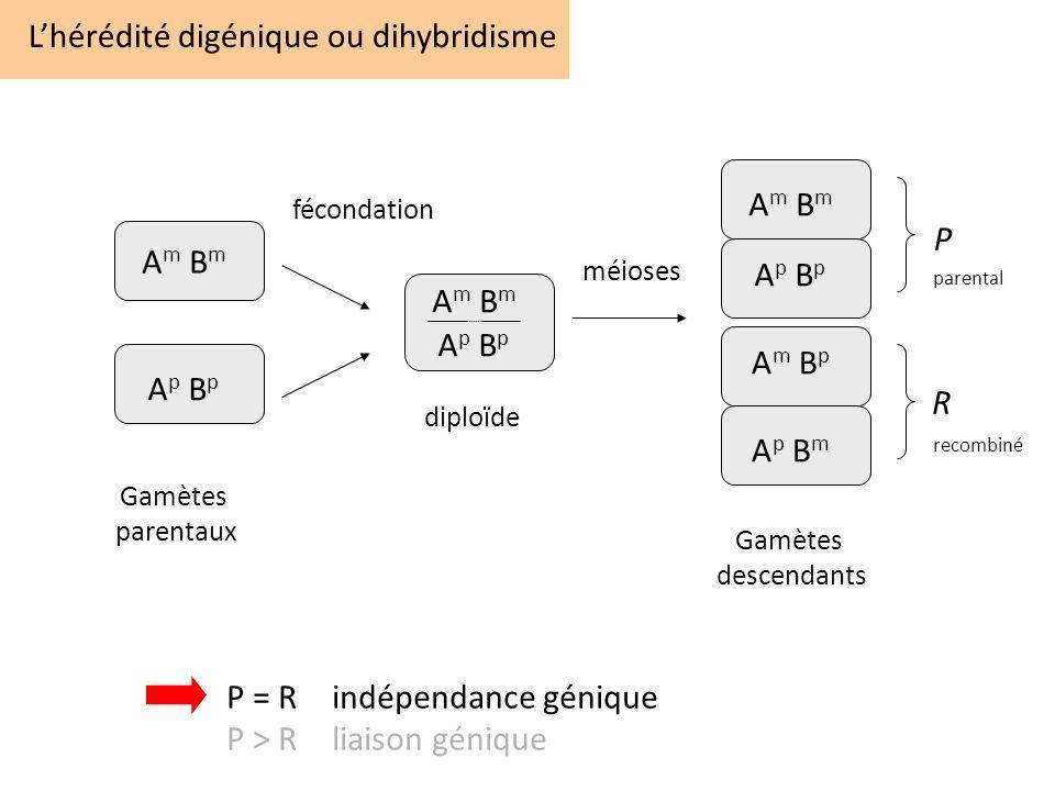 Lhérédité digénique ou dihybridisme A m B m A p B p A m B m A p B p A m B p A p B m P R fécondation méioses diploïde Gamètes parentaux Gamètes descend