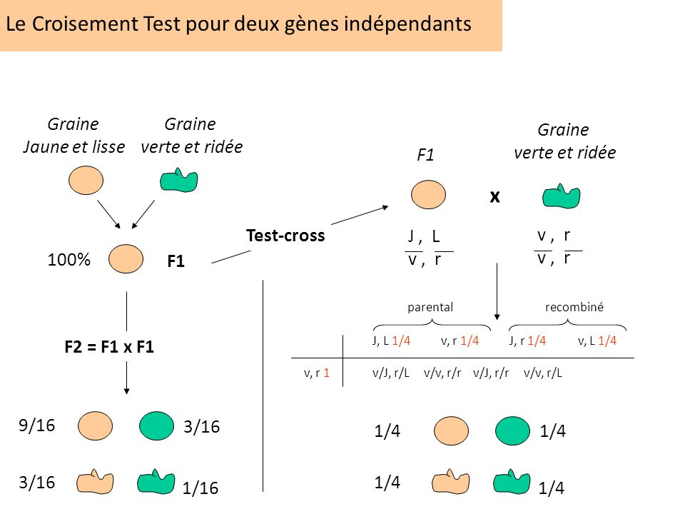Le Croisement Test pour deux gènes indépendants F1 Graine verte et ridée Graine Jaune et lisse 100% 9/16 3/16 1/16 F2 = F1 x F1 Test-cross F1 Graine v