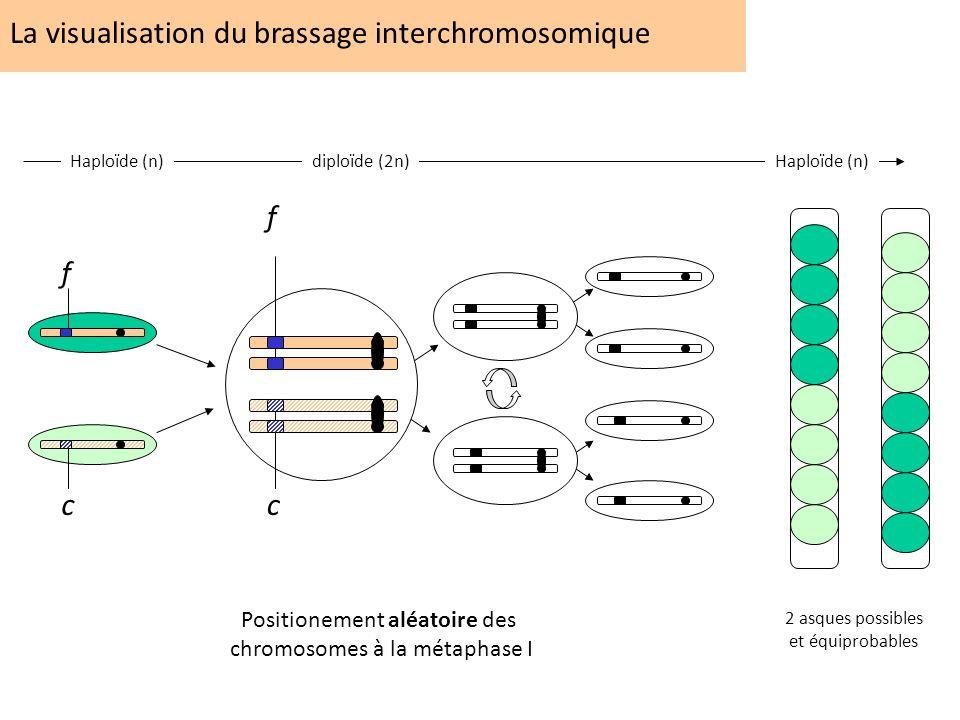 La visualisation du brassage interchromosomique f c Positionement aléatoire des chromosomes à la métaphase I f c Haploïde (n)diploïde (2n) Haploïde (n