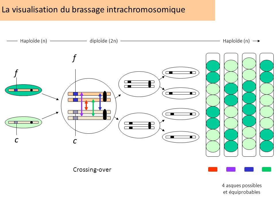 La visualisation du brassage intrachromosomique f c Crossing-over f c Haploïde (n)diploïde (2n) Haploïde (n) 4 asques possibles et équiprobables