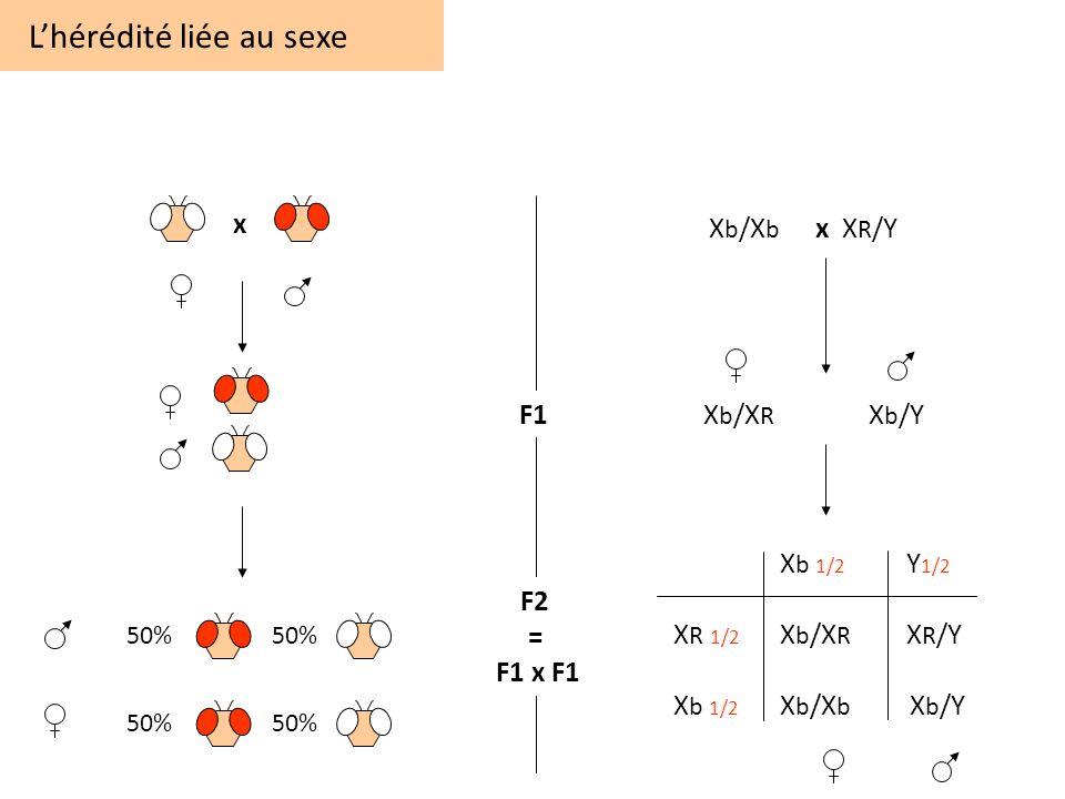 Lhérédité liée au sexe 50% F1 F2 = F1 x F1 x X b /X b x X R /Y X b /X R X b /Y X b 1/2 Y 1/2 X R 1/2 X b /X R X R /Y X b 1/2 X b /X b X b /Y 50%