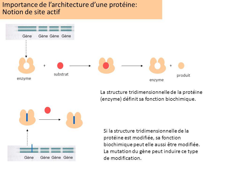 Importance de larchitecture dune protéine: Notion de site actif ++ enzyme substrat enzyme produit La structure tridimensionnelle de la protéine (enzym