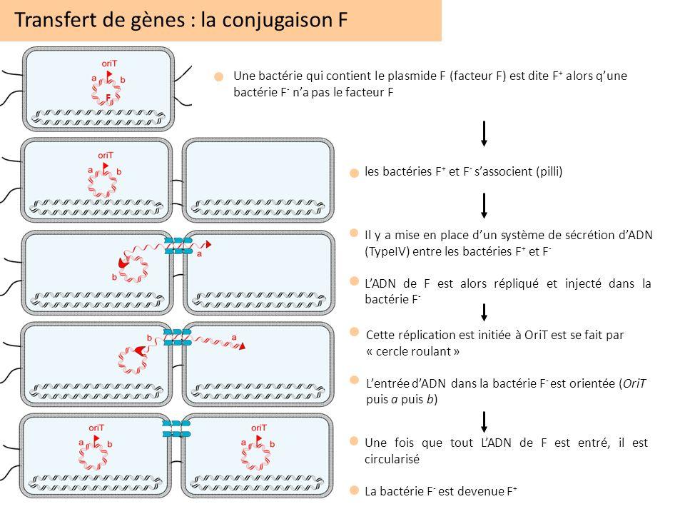 Transfert de gènes : la conjugaison F Une bactérie qui contient le plasmide F (facteur F) est dite F + alors qune bactérie F - na pas le facteur F F l