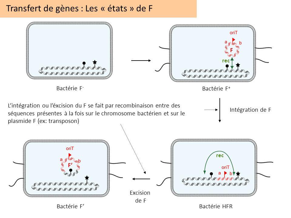 Transfert de gènes : Les « états » de F Bactérie F - Bactérie F + Bactérie HFRBactérie F Lintégration ou léxcision du F se fait par recombinaison entr