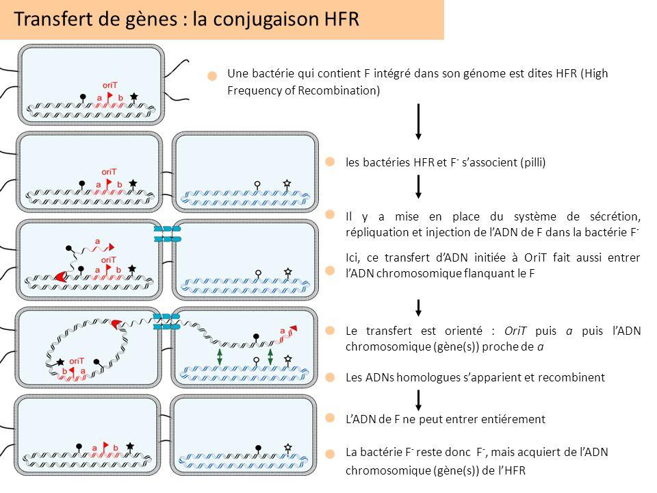 Transfert de gènes : la conjugaison HFR Une bactérie qui contient F intégré dans son génome est dites HFR (High Frequency of Recombination) les bactér