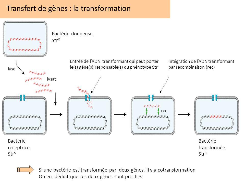 Transfert de gènes : la transformation Si une bactérie est transformée par deux gènes, il y a cotransformation On en déduit que ces deux gènes sont pr