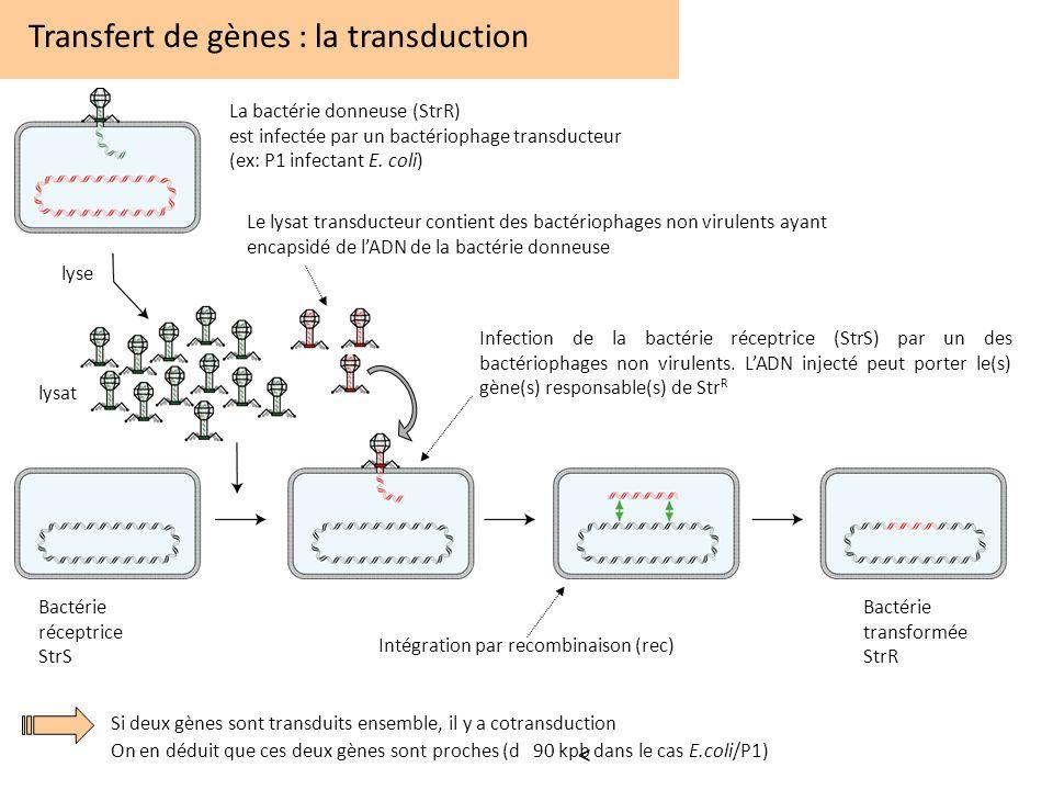 Transfert de gènes : la transduction Infection de la bactérie réceptrice (StrS) par un des bactériophages non virulents. LADN injecté peut porter le(s