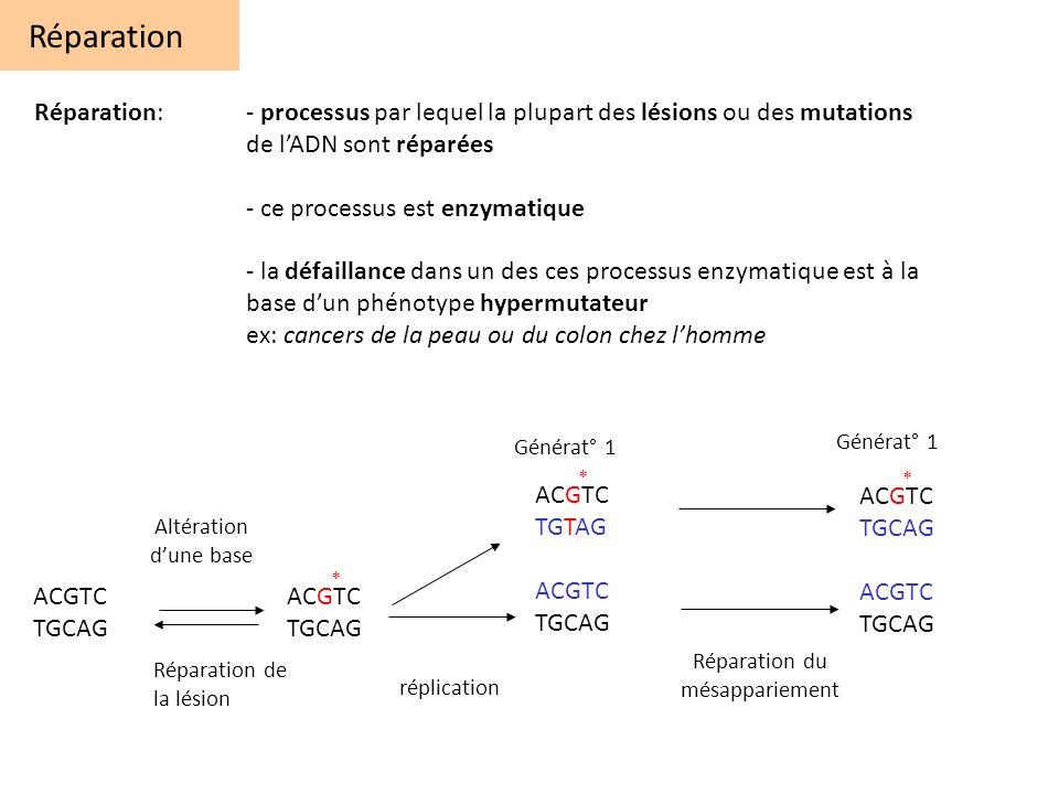 Réparation: - processus par lequel la plupart des lésions ou des mutations de lADN sont réparées - ce processus est enzymatique - la défaillance dans