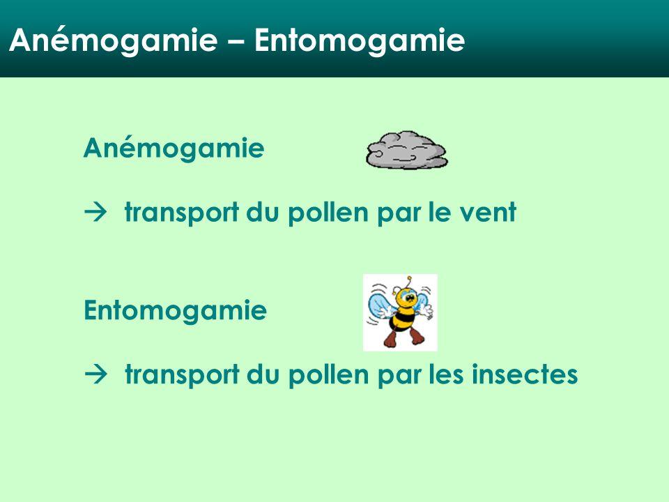 Anémogamie – Entomogamie Anémogamie transport du pollen par le vent Entomogamie transport du pollen par les insectes
