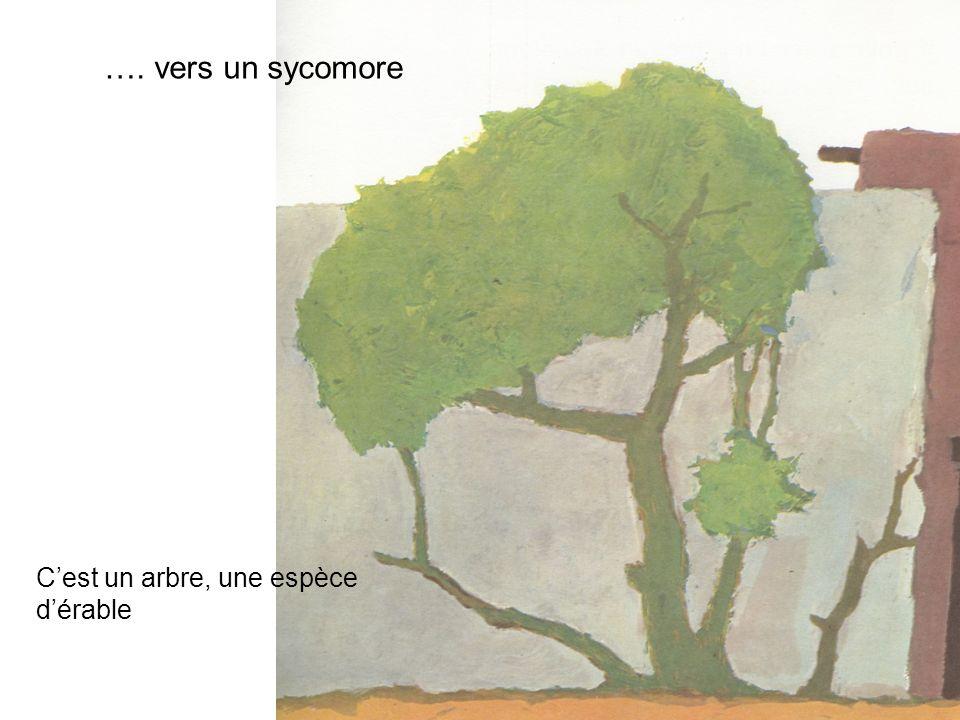 …. vers un sycomore Cest un arbre, une espèce dérable