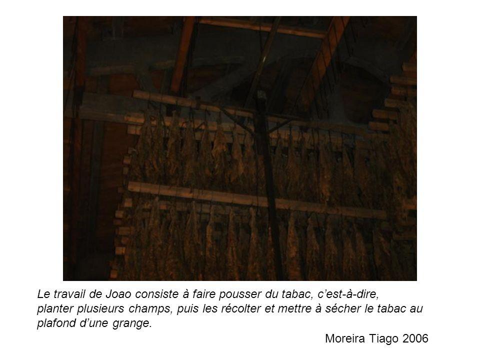 Le travail de Joao consiste à faire pousser du tabac, cest-à-dire, planter plusieurs champs, puis les récolter et mettre à sécher le tabac au plafond dune grange.