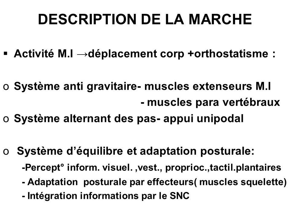 DESCRIPTION DE LA MARCHE Activité M.I déplacement corp +orthostatisme : oSystème anti gravitaire- muscles extenseurs M.I - muscles para vertébraux oSy
