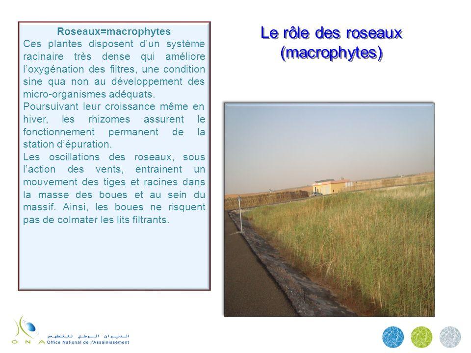 Le rôle des roseaux (macrophytes) Roseaux=macrophytes Ces plantes disposent dun système racinaire très dense qui améliore loxygénation des filtres, un