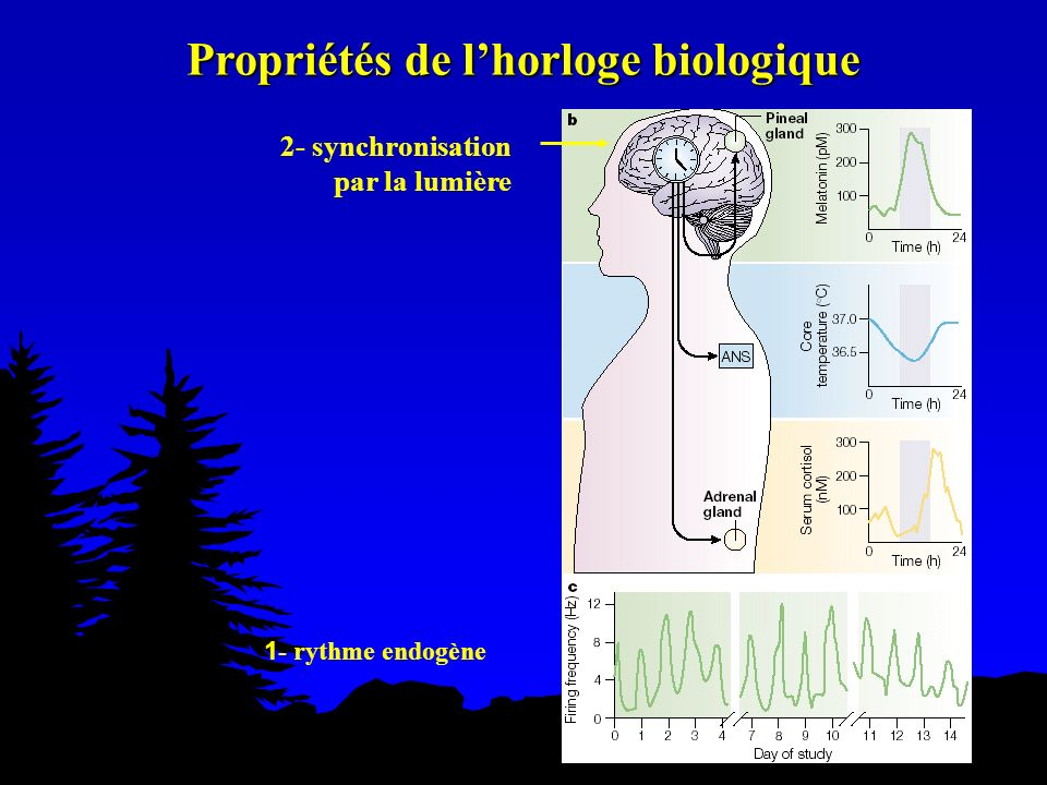 2- synchronisation par la lumière 1 - rythme endogène Propriétés de lhorloge biologique