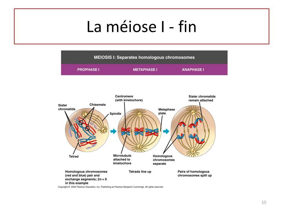 La méiose I - fin 10