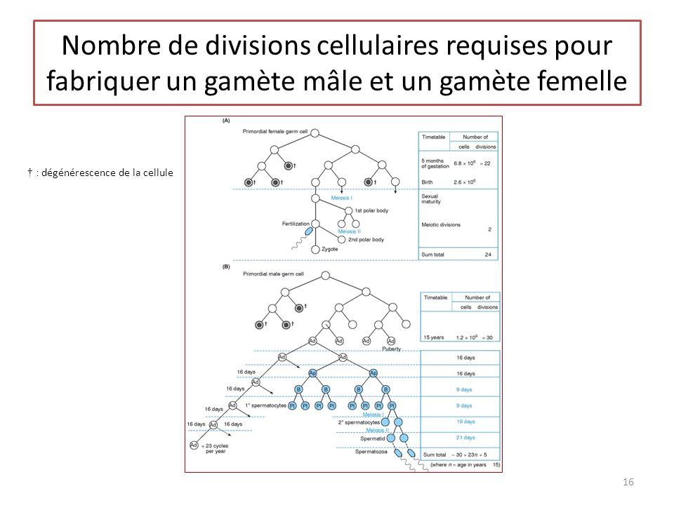 Nombre de divisions cellulaires requises pour fabriquer un gamète mâle et un gamète femelle 16 : dégénérescence de la cellule