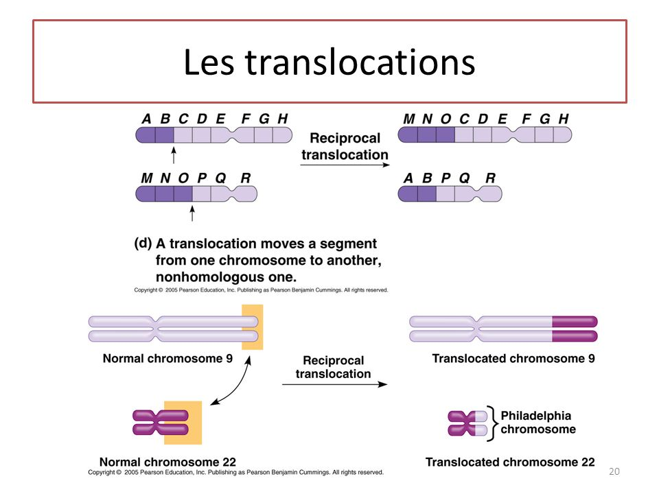 Les translocations 20
