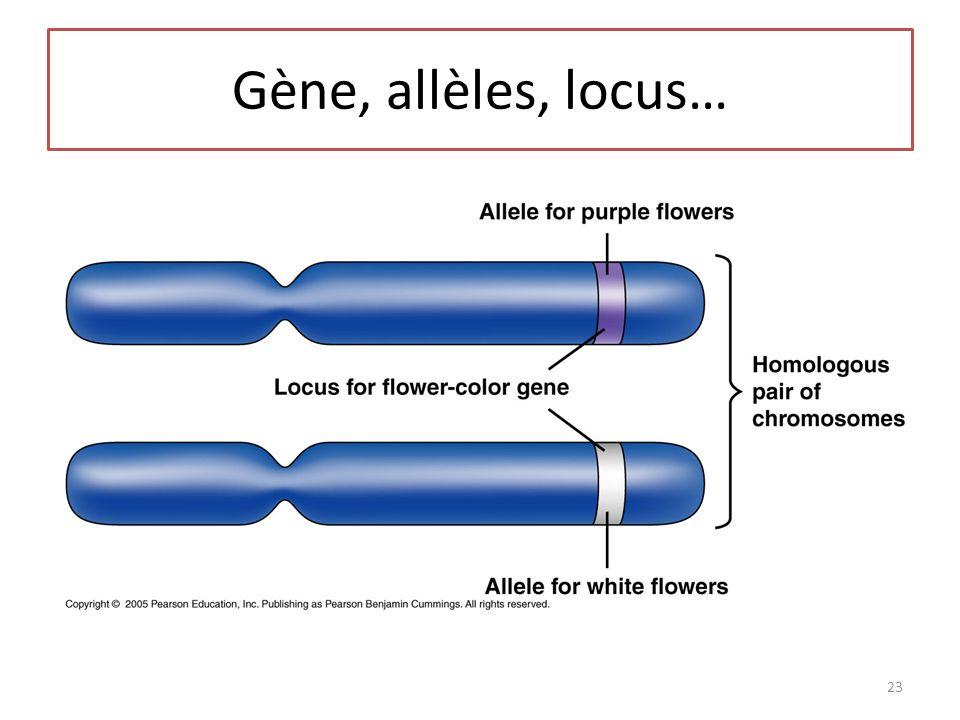 Gène, allèles, locus… 23