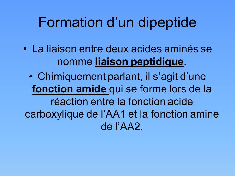 Formation dun dipeptide La liaison entre deux acides aminés se nomme liaison peptidique. Chimiquement parlant, il sagit dune fonction amide qui se for