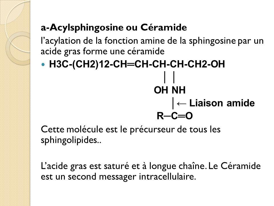 a-Acylsphingosine ou Céramide lacylation de la fonction amine de la sphingosine par un acide gras forme une céramide H3C-(CH2)12-CHCH-CH-CH-CH2-OH OH NH Liaison amide RCO Cette molécule est le précurseur de tous les sphingolipides..