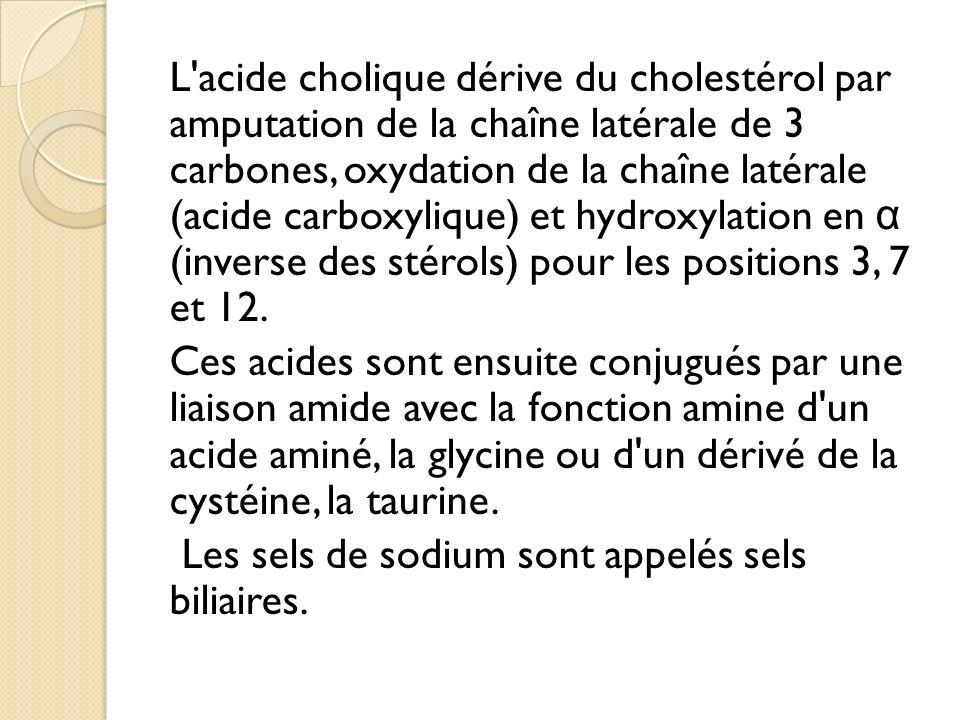 L acide cholique dérive du cholestérol par amputation de la chaîne latérale de 3 carbones, oxydation de la chaîne latérale (acide carboxylique) et hydroxylation en α (inverse des stérols) pour les positions 3, 7 et 12.